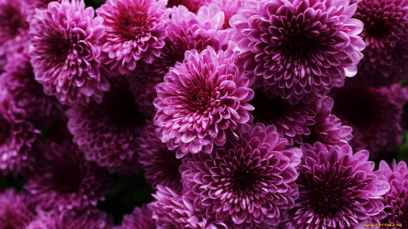хризантема цветы  № 1353125 без смс