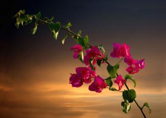 Картинка цветы бугенвиллея тропики ветка экзотика