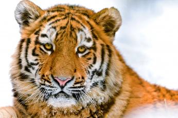 Картинка животные тигры морда портрет красавец