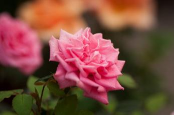 Картинка цветы розы лепестки бутон