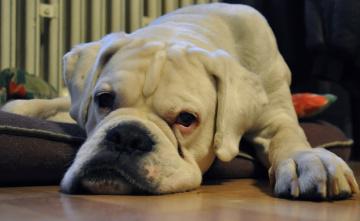 Картинка животные собаки боксёр