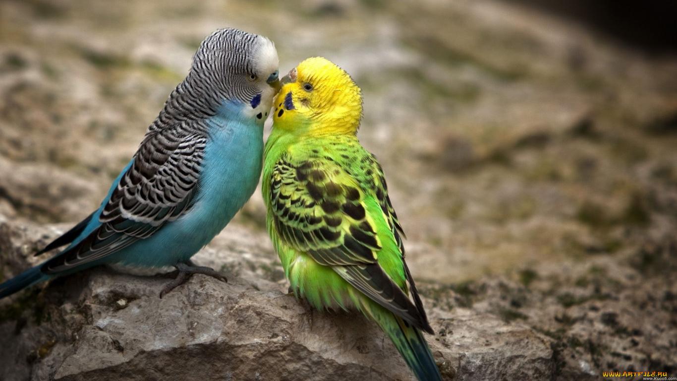 Окрасы волнистых попугаев - цвета, фото разных окрасов 76