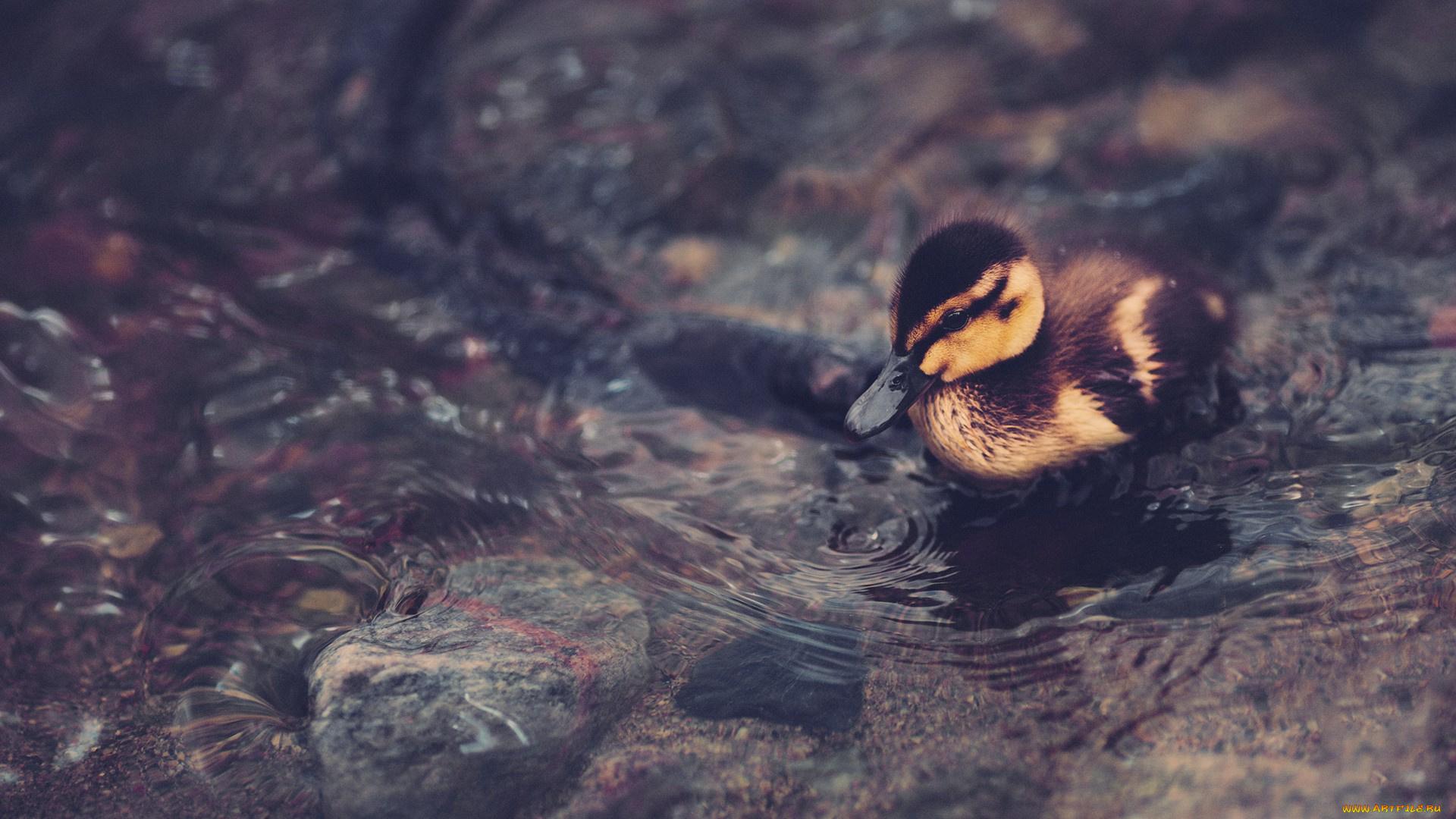 природа птица животное утка загрузить
