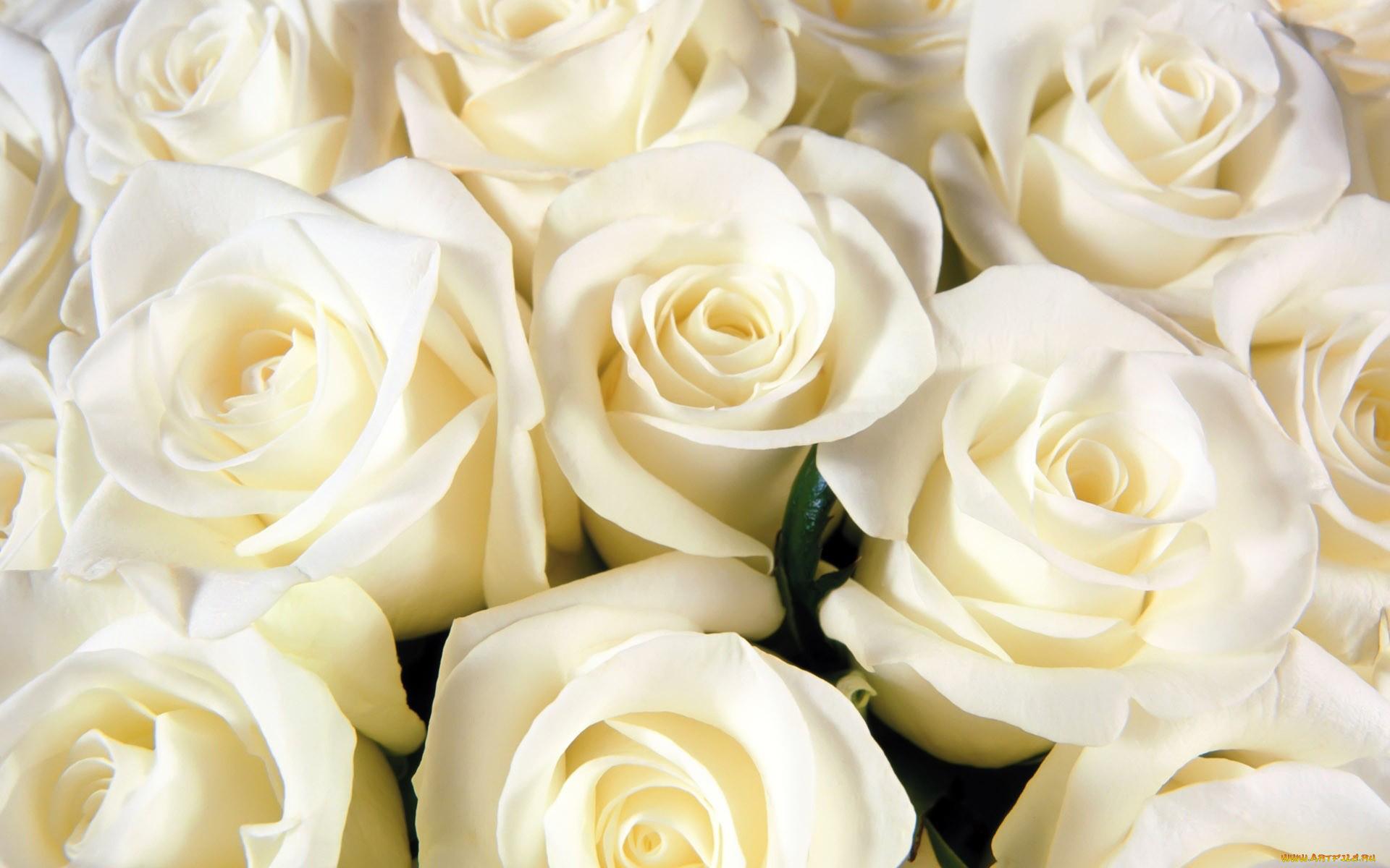 Картинка белые розы на рабочий стол, поздравляю покупками картинки