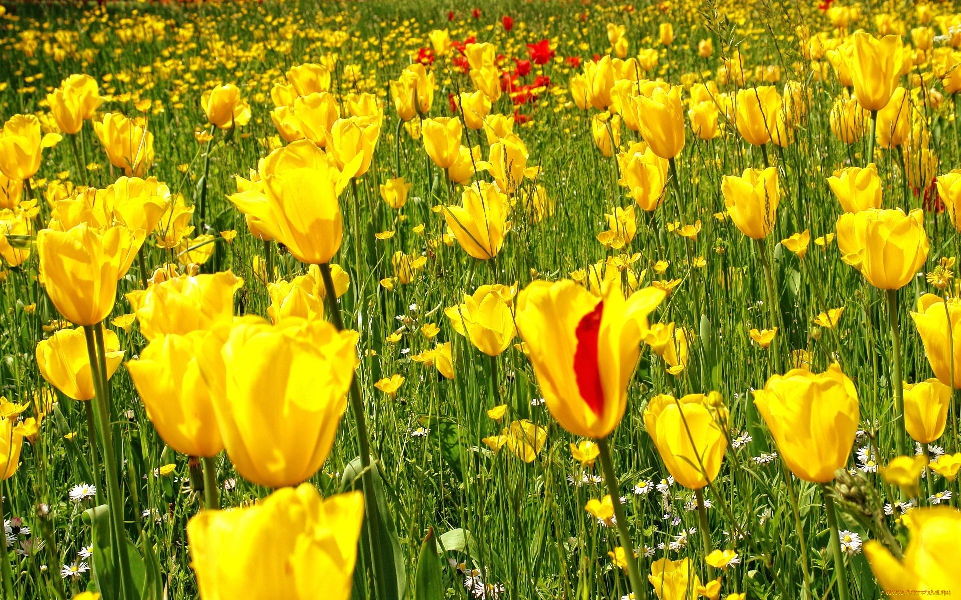 поляна из желтых тюльпанов без смс