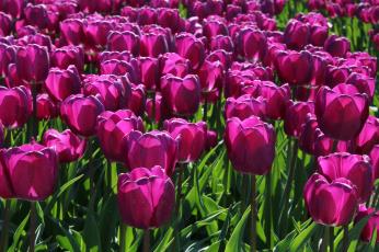 Картинка цветы тюльпаны малиновые лепестки