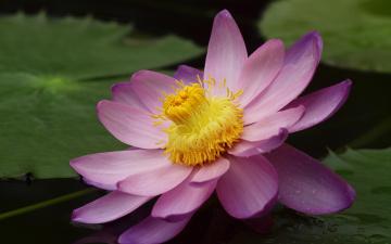 Картинка цветы лотосы лепестки