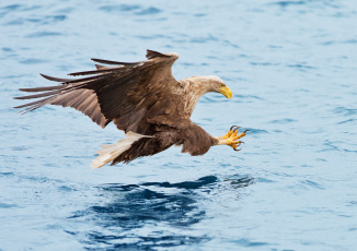 Картинка животные птицы+-+хищники рыбалка