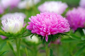 обоя цветы, астры, астра, розовый, макро