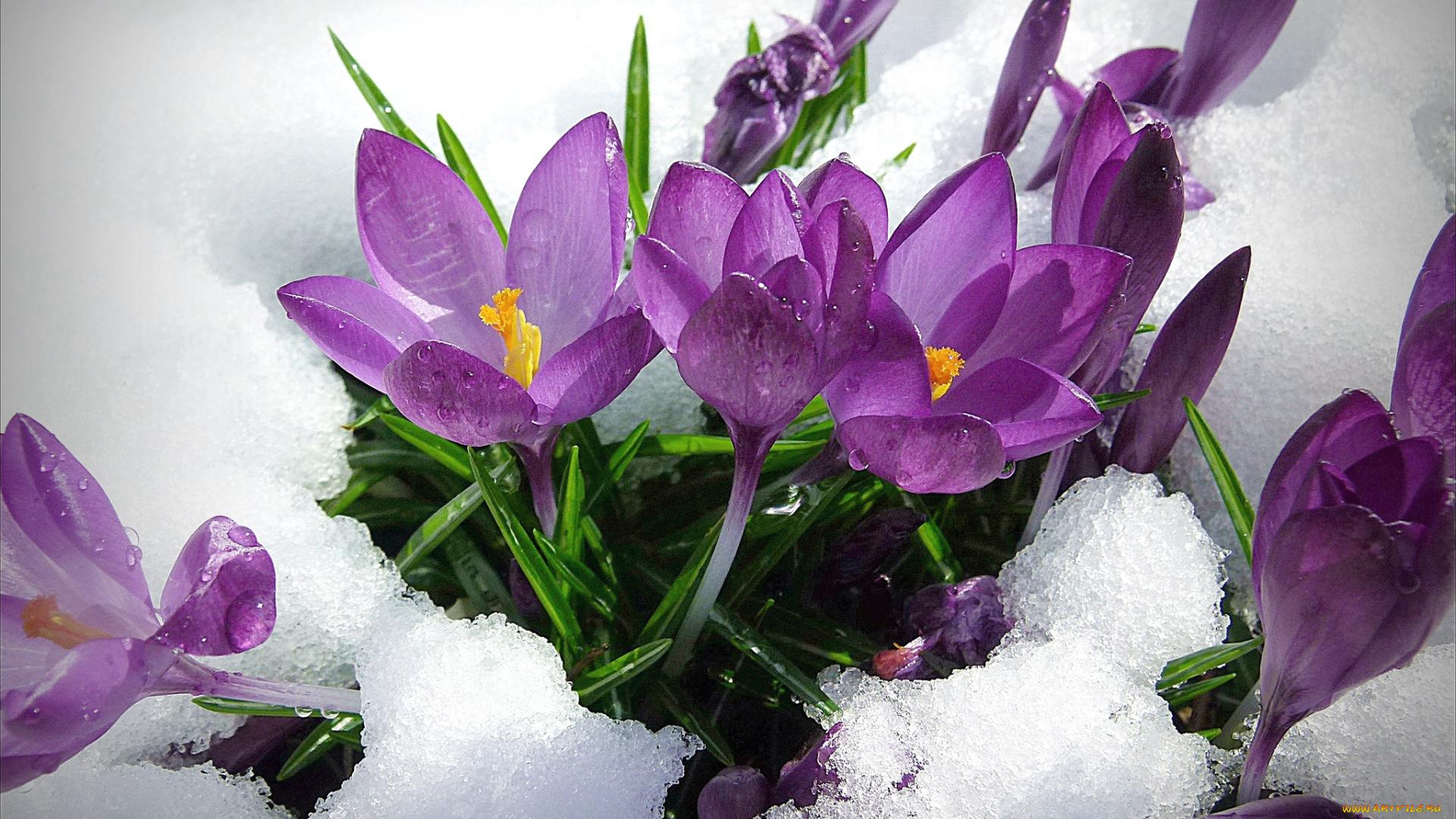 Открытка с днем рождения подснежники в снегу