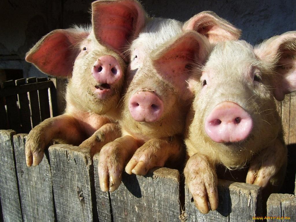 Юбилеем лет, картинки прикольные свинья