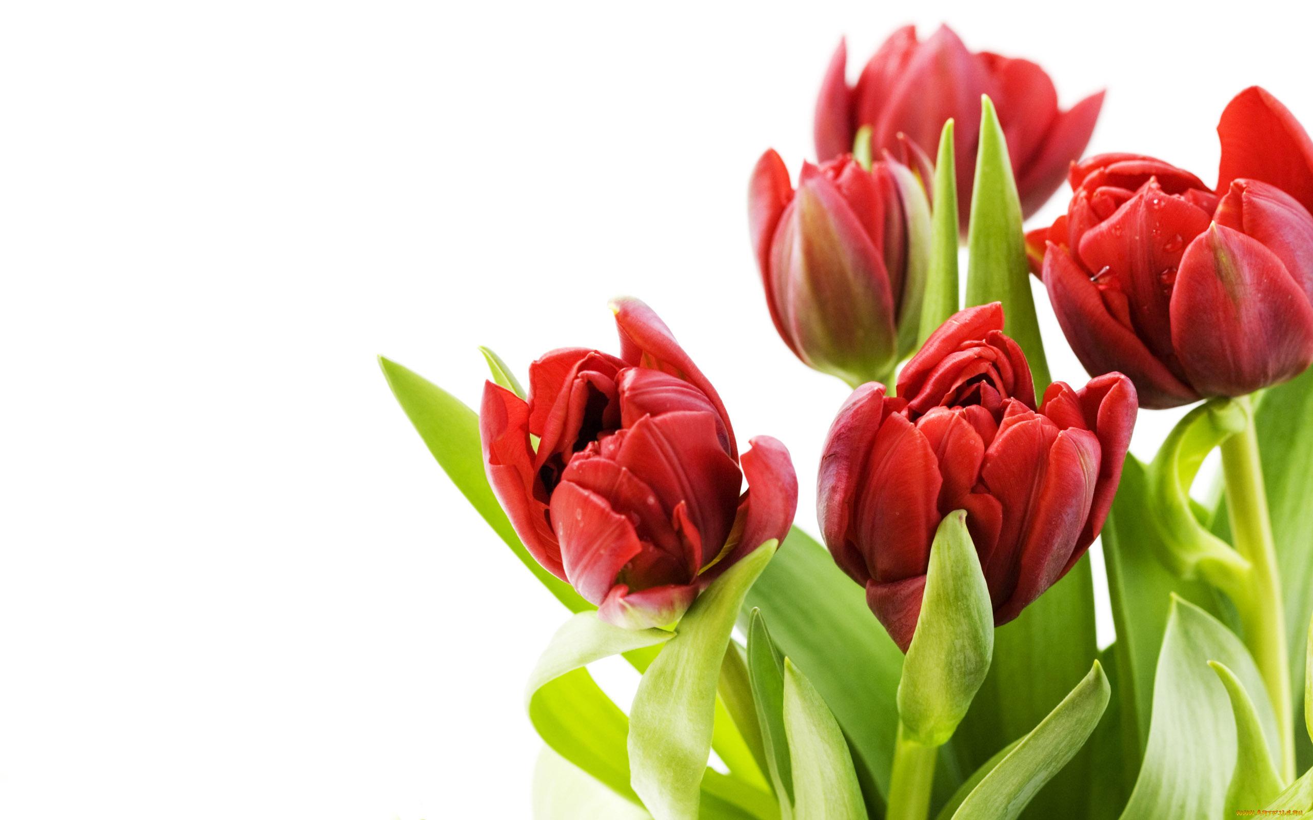 Поздравления мамы, тюльпан фон для открытки