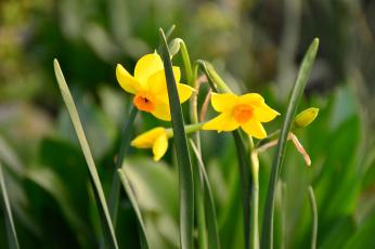 Картинка цветы нарциссы желтый