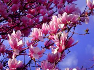 обоя цветы, магнолии, сакура, вишня, дерево, цветение, весна