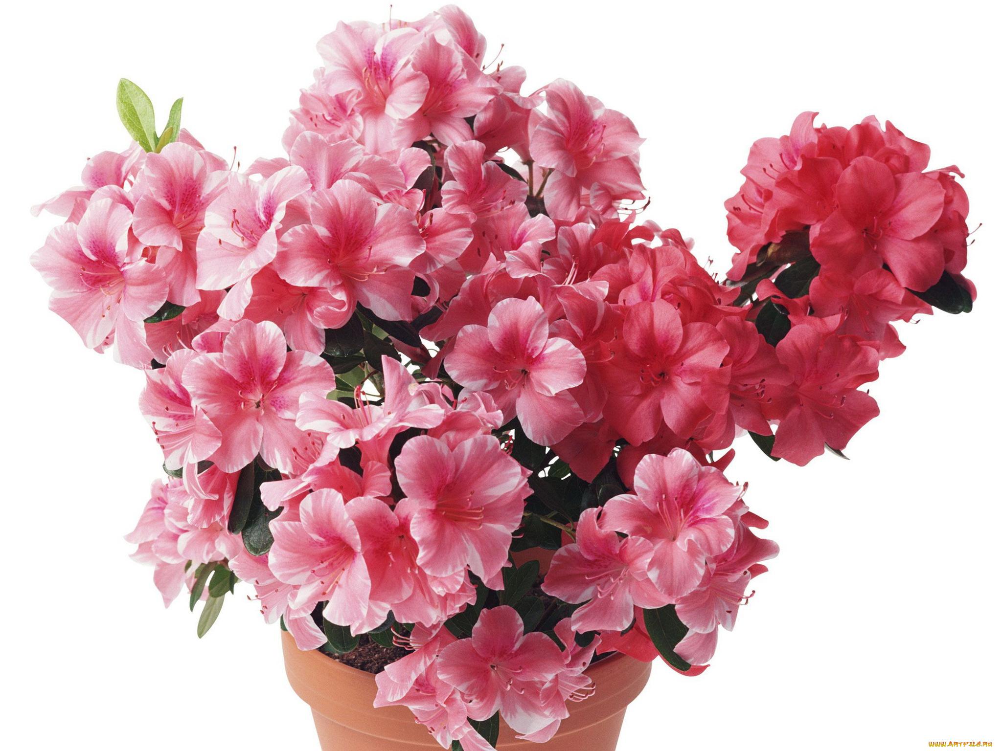 азалия лепестки цветы  № 3898118 бесплатно