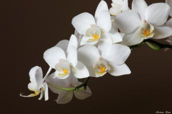 Картинка цветы орхидеи белый ветка