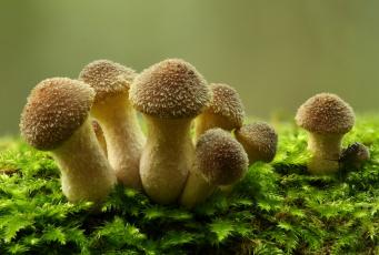 Опята грибы загрузить