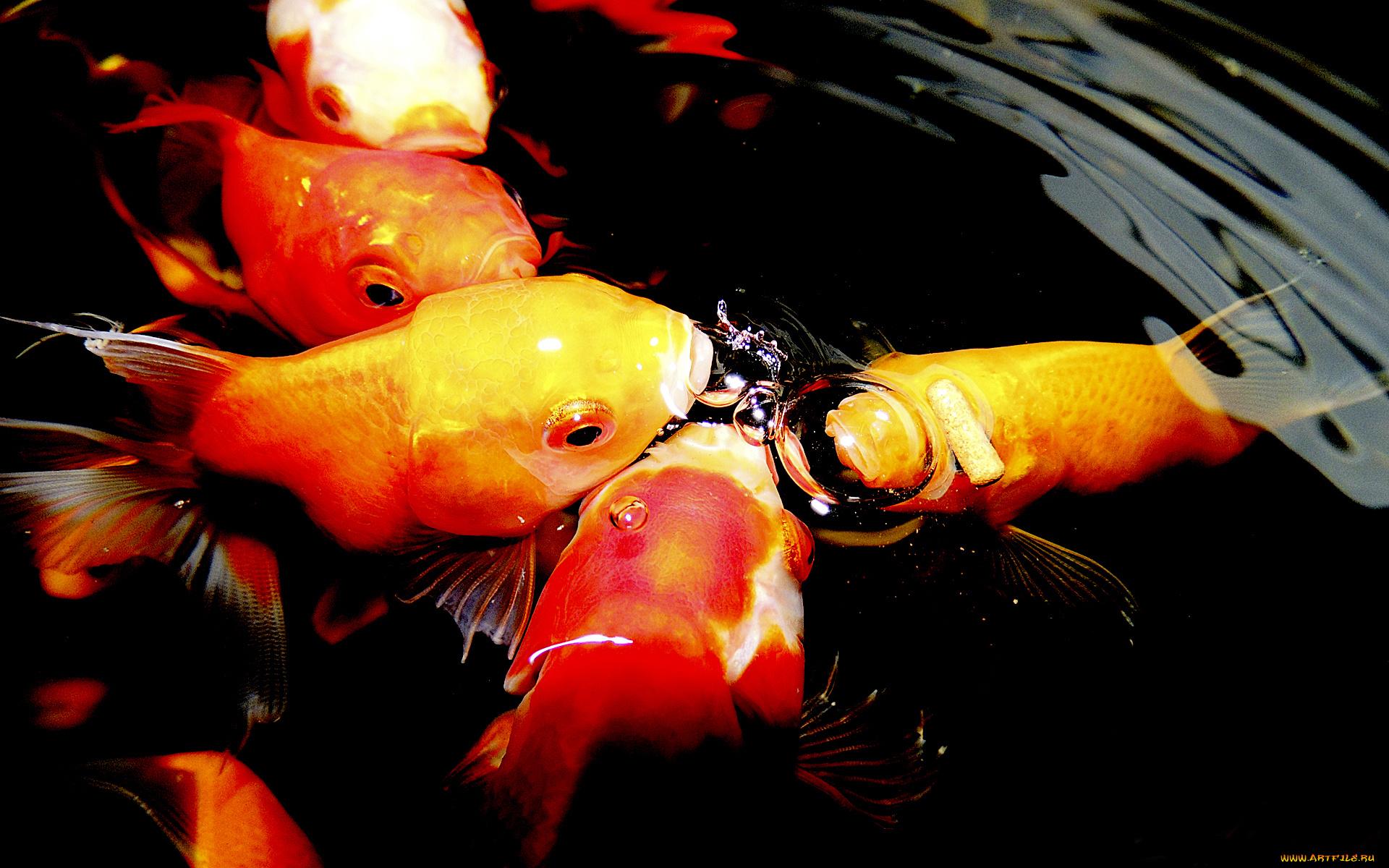 Золотые рыбки на поверхности  № 2075836 бесплатно