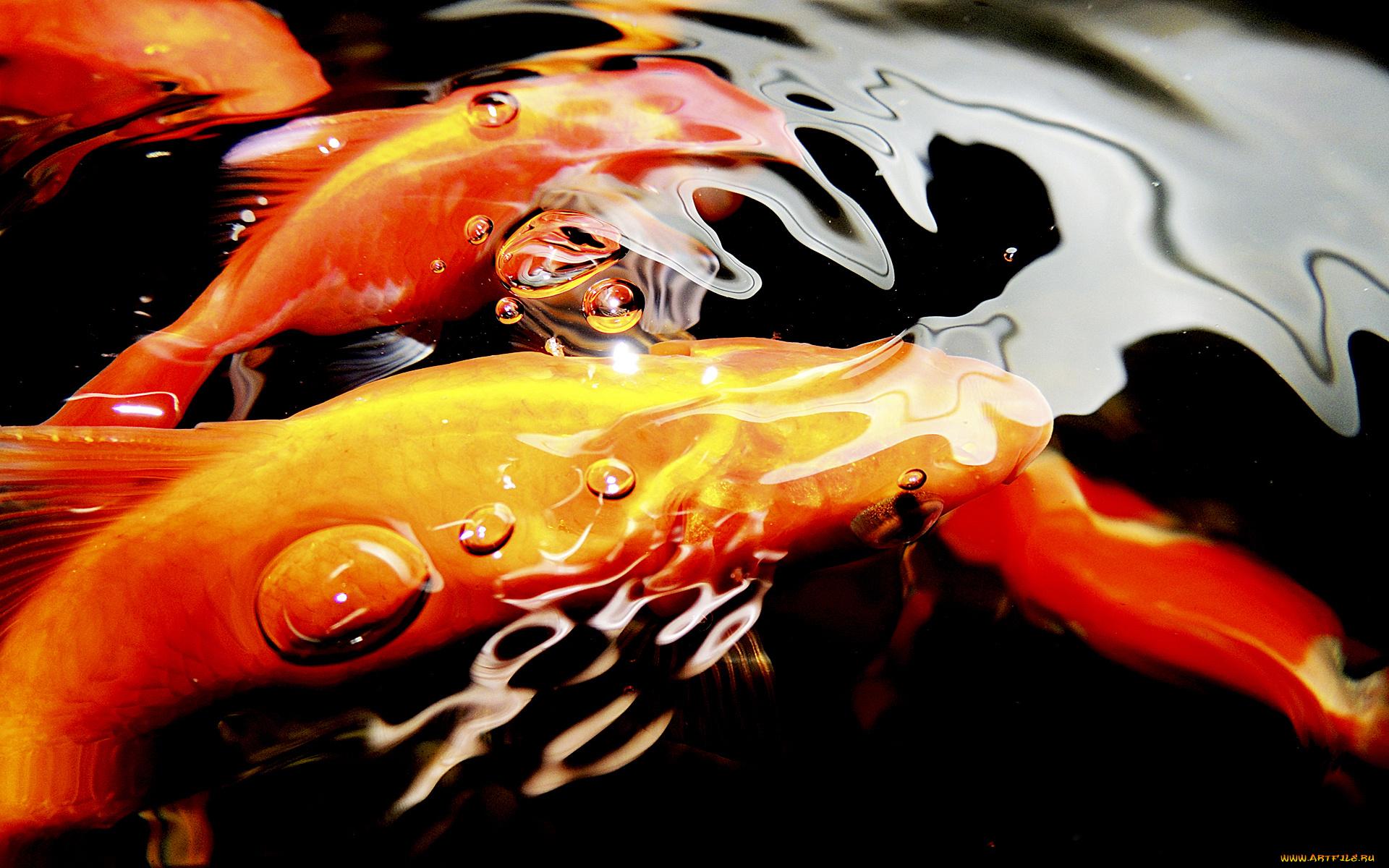 Золотые рыбки на поверхности  № 2075840 бесплатно