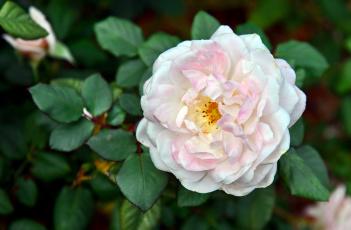 Картинка цветы розы розовый