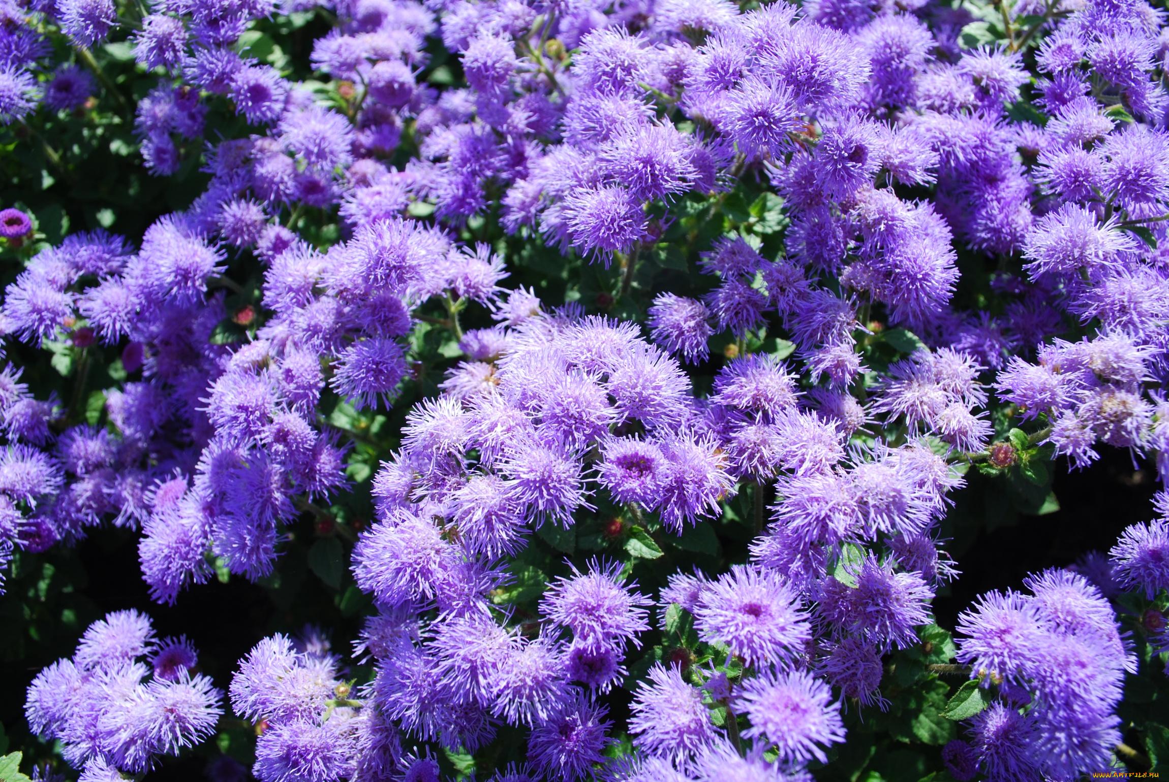 садовые цветы с фиолетовыми цветками картинки играла