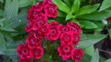 обоя цветы, гвоздики, бордовый, цвет