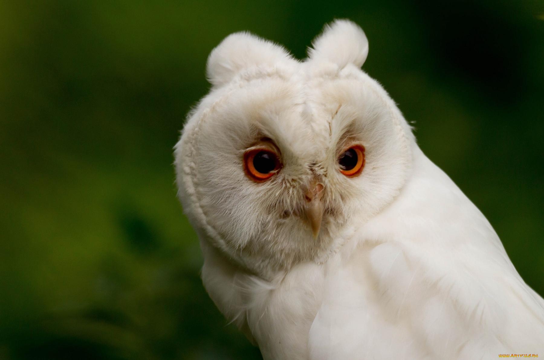 белая сова без смс