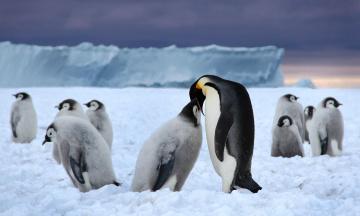 обоя животные, пингвины, кормежка, лед, пингвинята, стая, снег