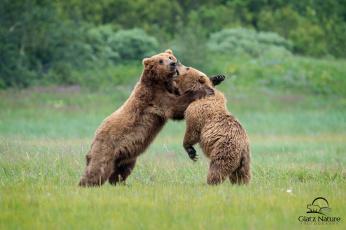 обоя животные, медведи, борьба, косолапый
