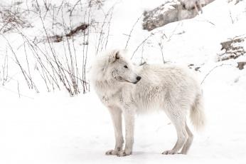 Картинка животные волки +койоты +шакалы волк