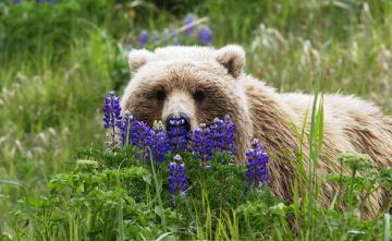 обоя животные, медведи, цветы, трава, бурый, медведь
