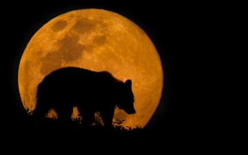 обоя животные, медведи, силуэт, ночь, медведь, луна