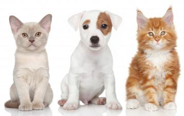 Картинка животные разные+вместе кошка щенок бигль рыжая