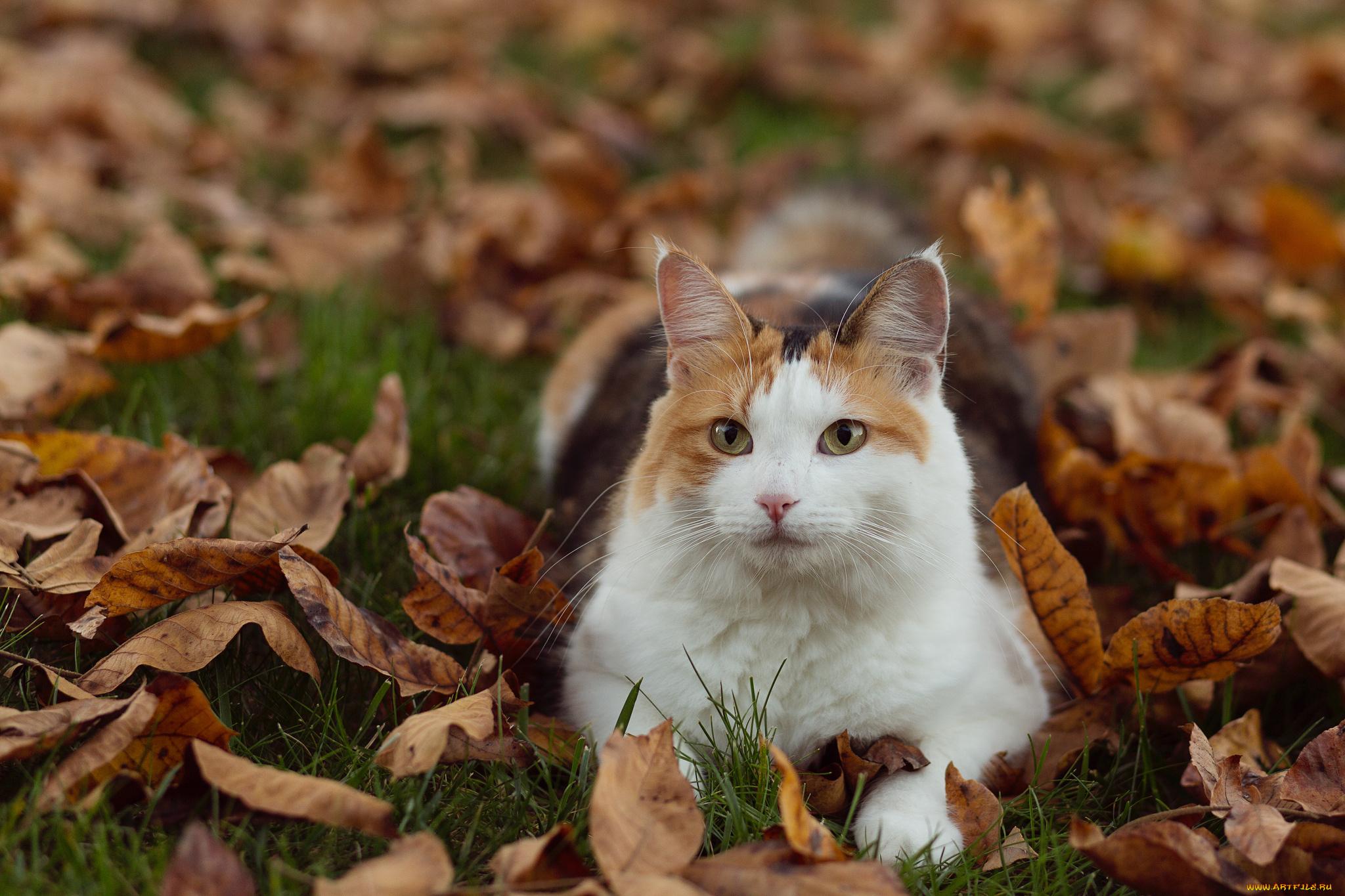 кошка осень листва  № 3898475 бесплатно