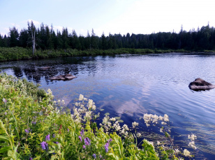 обоя природа, реки, озера, лето, река, цветы, камни