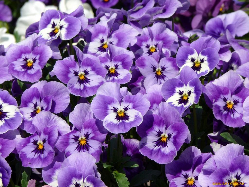 может, цветы фиалки фото красивые частности