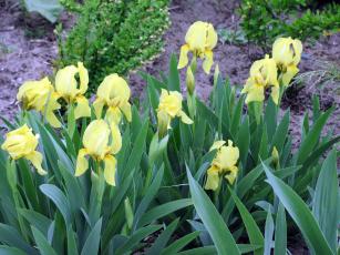 Картинка цветы ирисы зеленый желтый