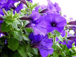 обоя цветы, петунии,  калибрахоа, лиловый
