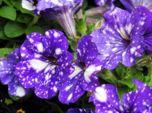 обоя цветы, петунии,  калибрахоа, пятнистые