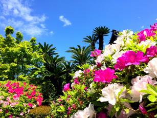 обоя цветы, рододендроны , азалии, азалия, рододендрон, пальмы