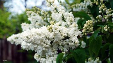 обоя цветы, сирень, гроздь, белая