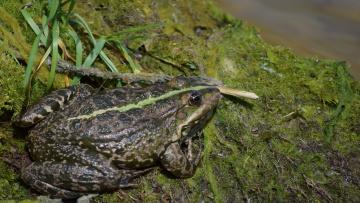 обоя животные, лягушки, водоросли, река, лягушка