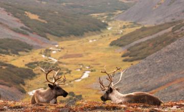 обоя животные, олени, карибу, горы, долина