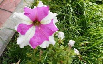 обоя цветы, петунии,  калибрахоа, листья, цветок, белый, трава