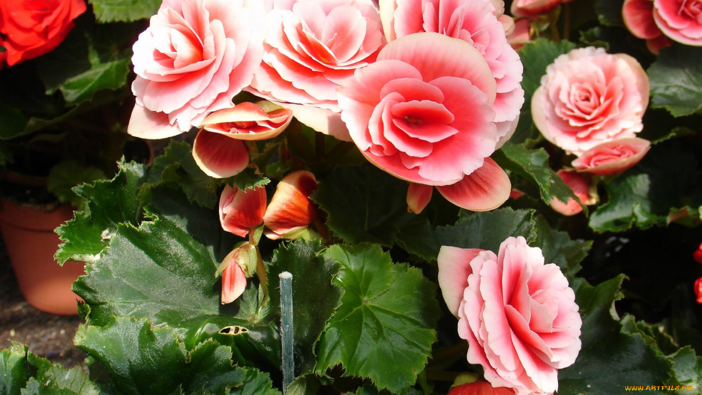 Бегония садовая: особенности выращивания и ухода, методы 5