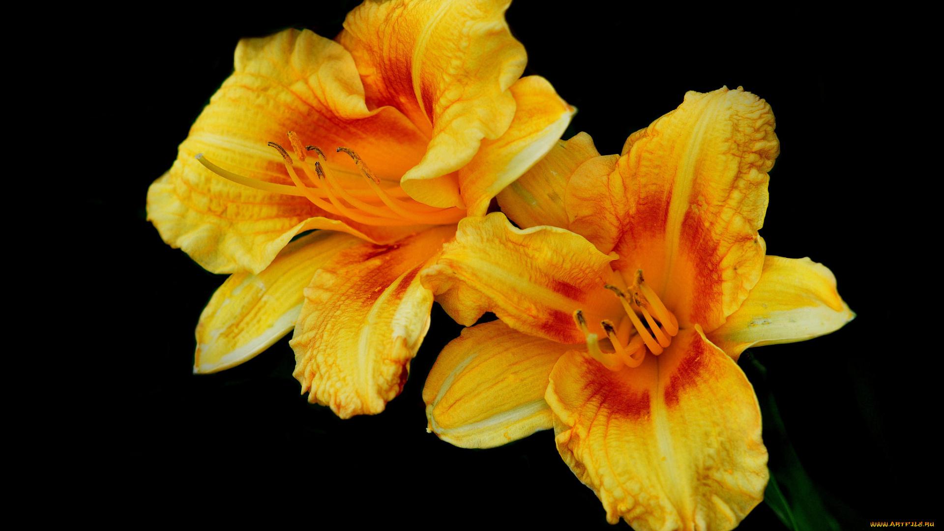 Лилейник цветы желтые природа роса загрузить