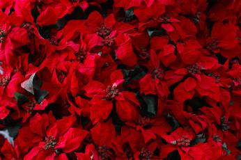 обоя цветы, колеусы,  каладиумы, природа, фон, листья, красные