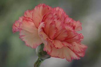 обоя цветы, гвоздики, цветок