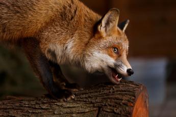 обоя животные, лисы, бревно