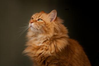 обоя животные, коты, портрет, кошка, взгляд, рыжий, кот